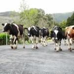 cows_m_bartosch