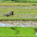rice field_anankkml
