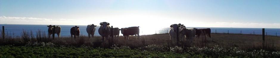 kor cows