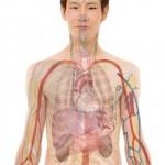 anatomi kropp lever blodkärl man