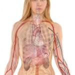 kropp lever blodkärl anatomi