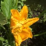 zucchiniblomma