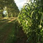 majsfält träd natur
