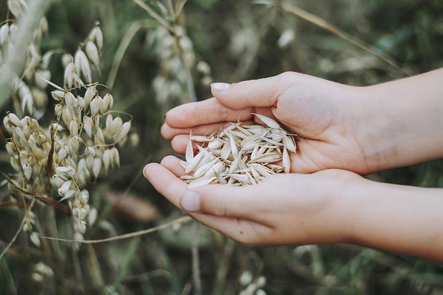 oats havre