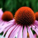 Örtkunskap: Echinacea mot förkylning